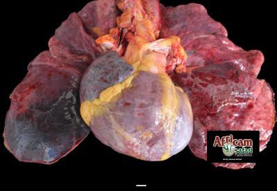 Cardiomiopatía dilatada de lado derecho