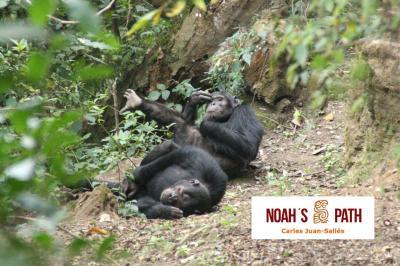 Chimpancés descansando