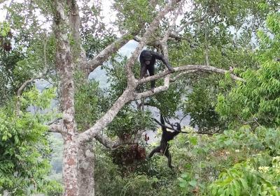 Chimpancés rehabilitados en instalaciones de semi-libertad en selva primaria