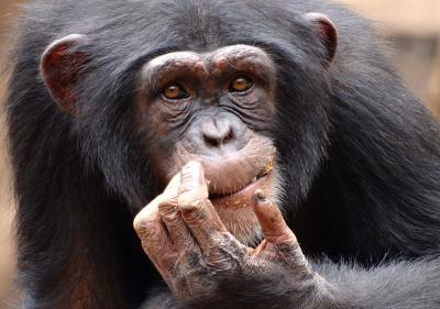 Chimpancé del Oeste rehabilitado en Tacugama