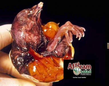 Malformación de saco vitelino con estrangulación patas y cuello