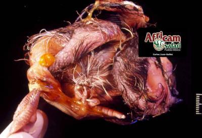 Malformación de saco vitelino con estrangulación pata derecha