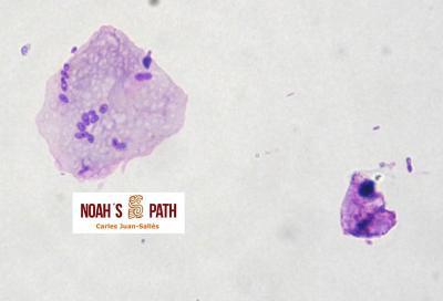 Malasseziosis asociada a pérdida de plumas