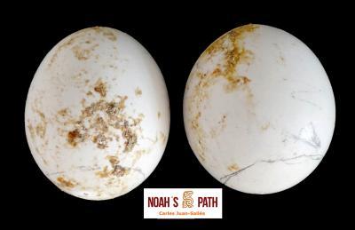 Variación morfológica en huevos de la misma puesta