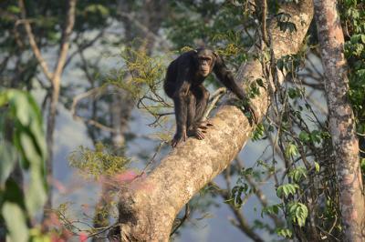 Chimpancé en un árbol