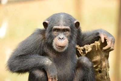 Chimpancé rehabilitado