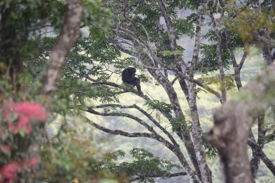 Chimpancé rehabilitado en los árboles del santuario