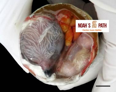 Malposición embrionaria - diagnóstico y prevención de mortalidad embrionaria en programas de cría